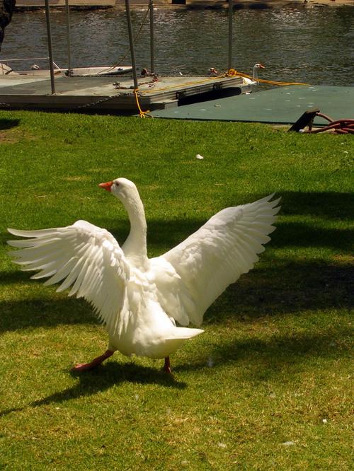 swan? duck? goose?